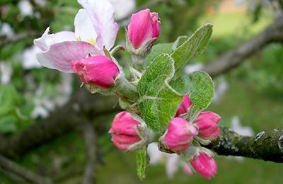 Bachblüten-Therapie ist eine der Kompetenzen der Osnabrücker Naturheilpraxis Sabine Weyersberg